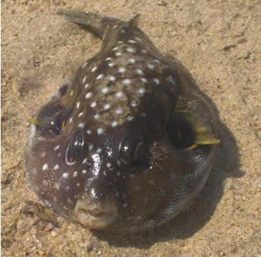 Dead Blow Fish I Found